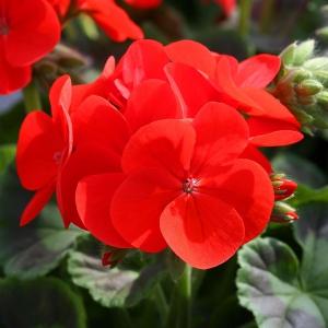 Пеларгонія зональна (садова)