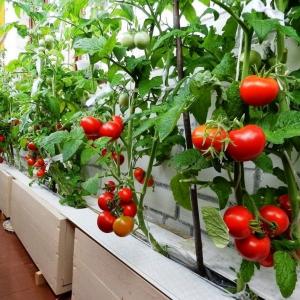 Вирощування томатів в домашніх умовах
