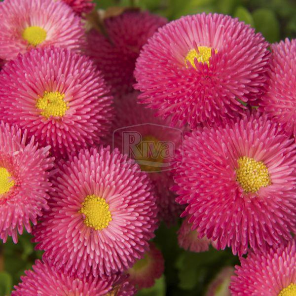 Маргаритка рожева