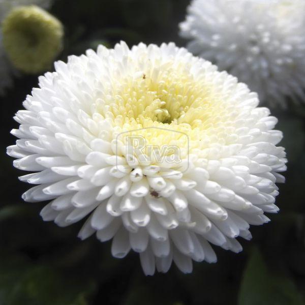 Маргаритка біла