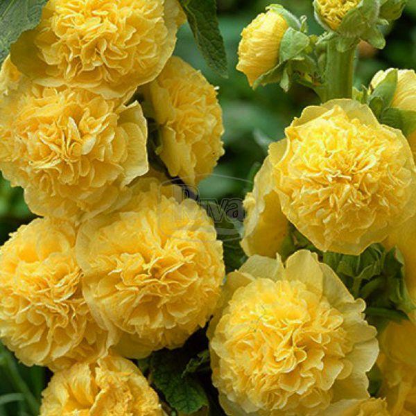 Мальва махрова жовта