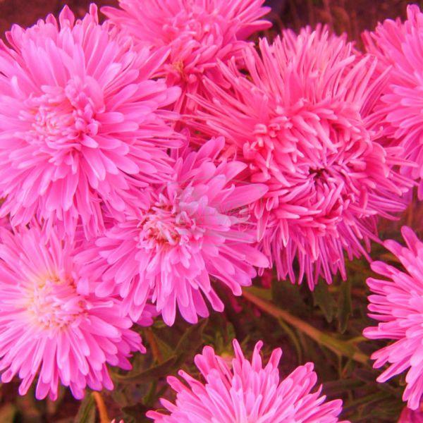 Айстра напівмахрова рожева