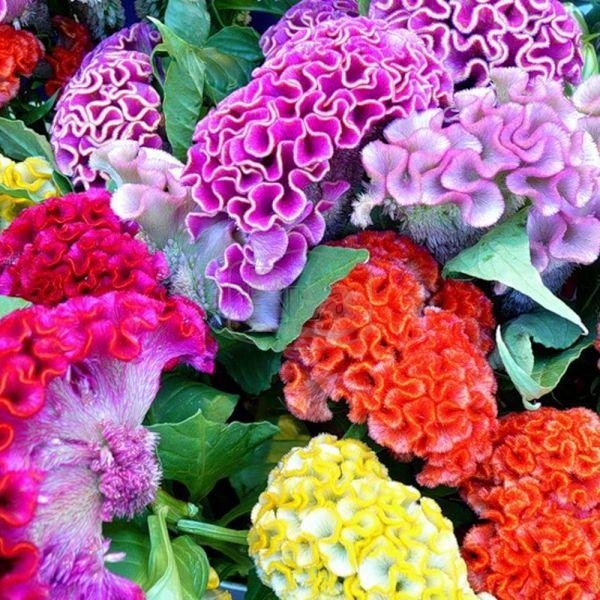 Рассада цветов гребешки