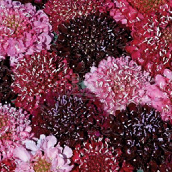 Скабіоза темно-пурпурова