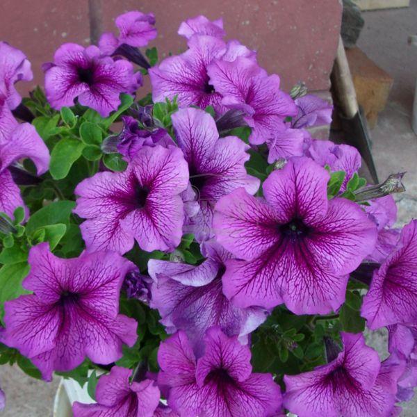 Петунія великоквіткова  Браво Фіолетова